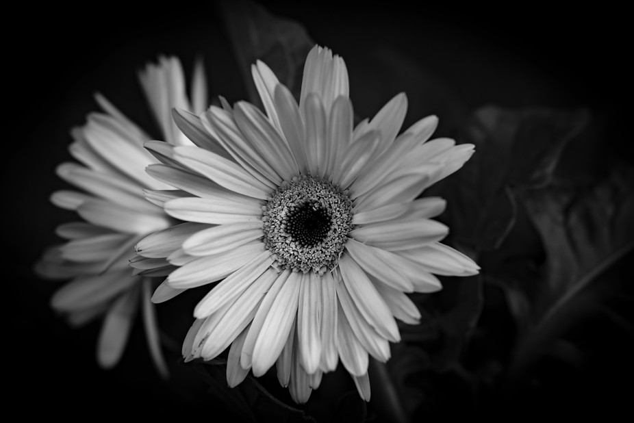 Daisy in black and white
