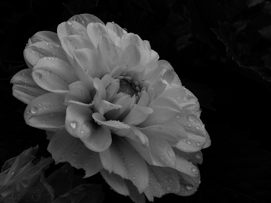 Flower series black and white