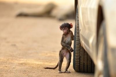 Baboon at work