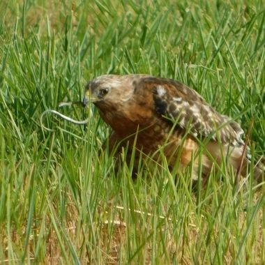 I got the worm said the  Red Tail Hawk