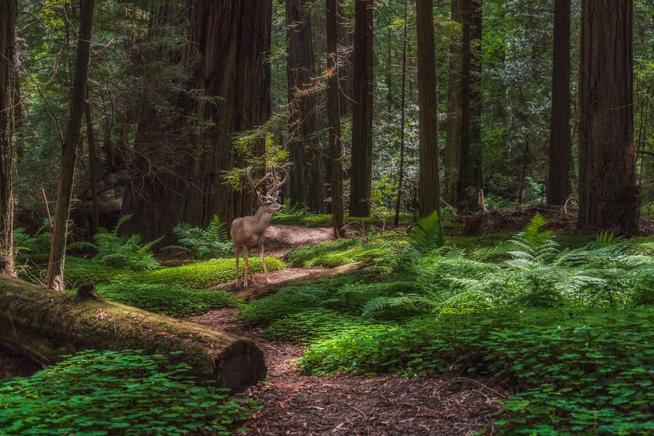 I am always humbled when hiking trails through giant coastal redwood groves like the ones in the ...