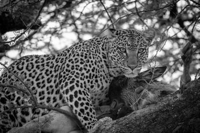 Leopard with Kill (B&W)