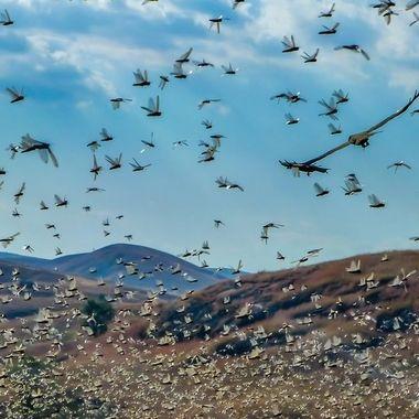 Madagascan locusts