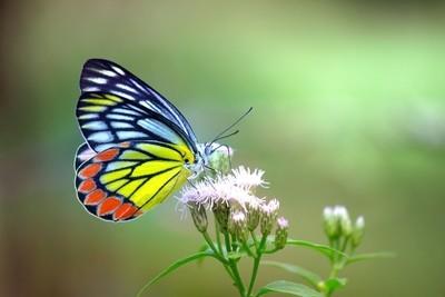 Indian Jezebel Butterfly