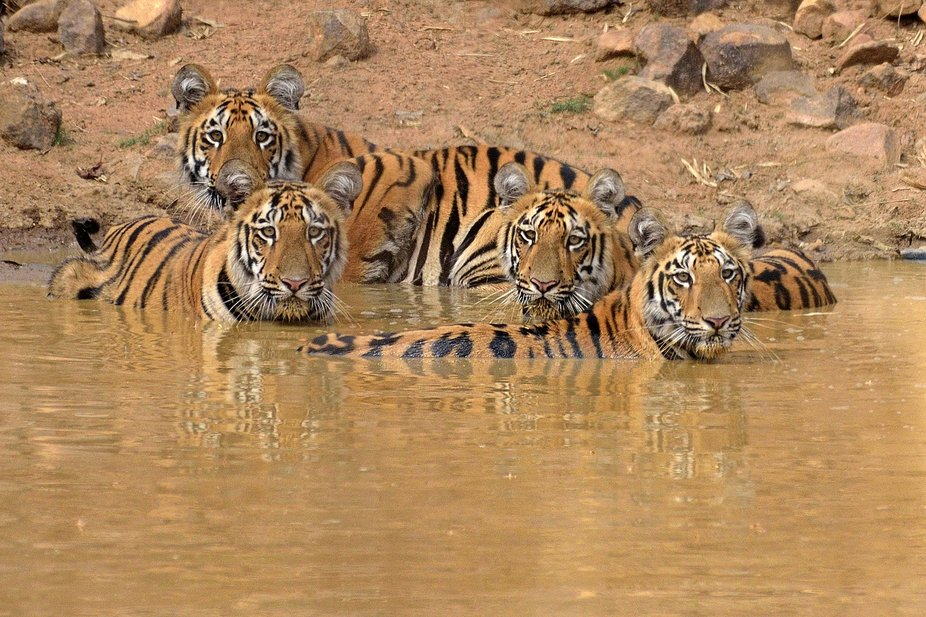 This four little sub-adult cubs are Captured on one summer afternoon at Jamunjhora Waterhole at T...