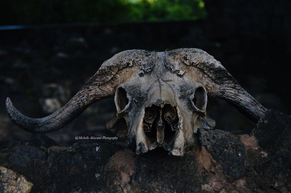 Buffalo skull resting on a wall at Mzima Springs.