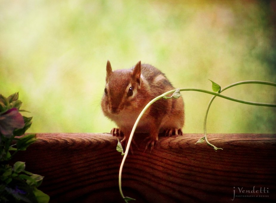 My little backyard chipmunk, sittin beside the morning glories. :)