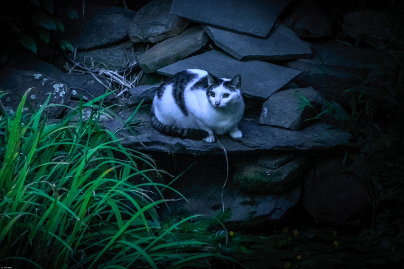 came to our pond to hunt for frog but frog outsmarted this cat
