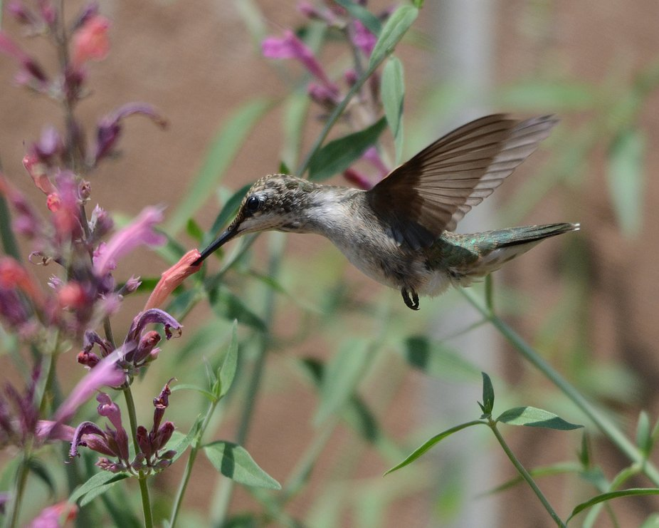 Female Black-chinned Hummingbird knows just just where to aim her long, narrow bill to reach that...