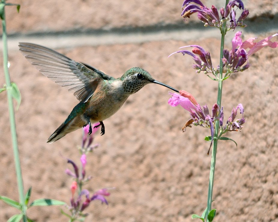 I've never seen Calliope Hummingbirds this far west of the Sandia Mountains as they have...