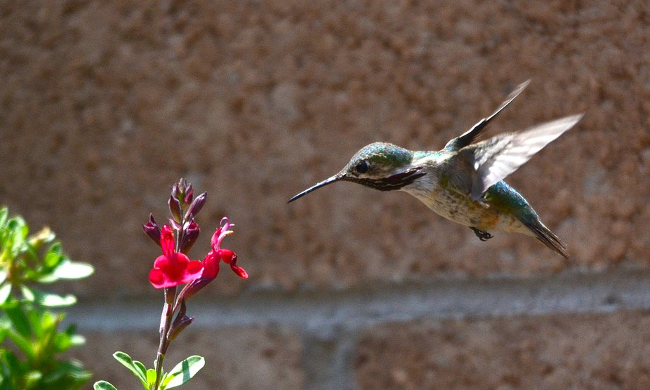 Rare and unusual sighting of a male Calliope Hummingbird in my west side Albuquerque garden this ...