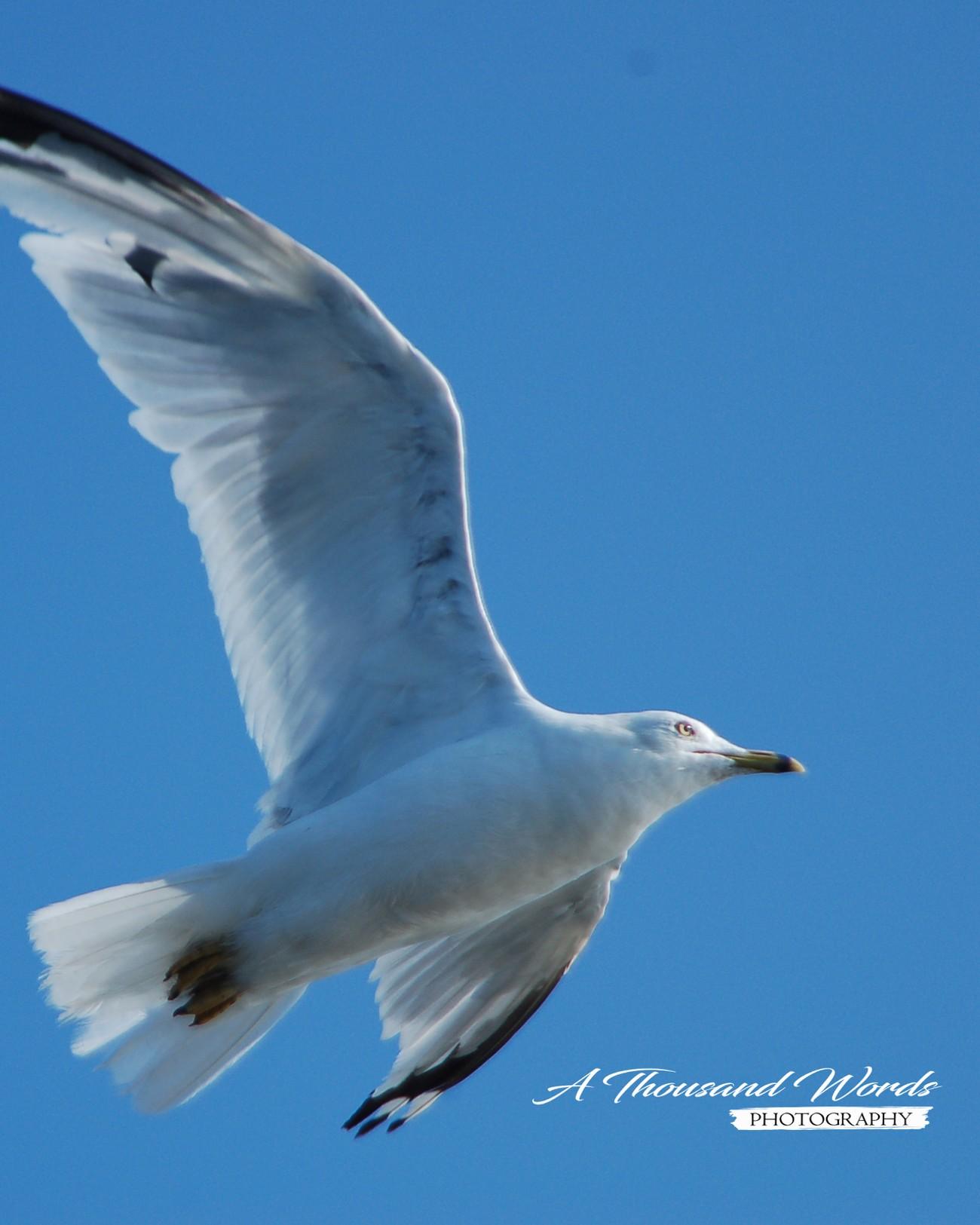 Seagull captured mid flight.