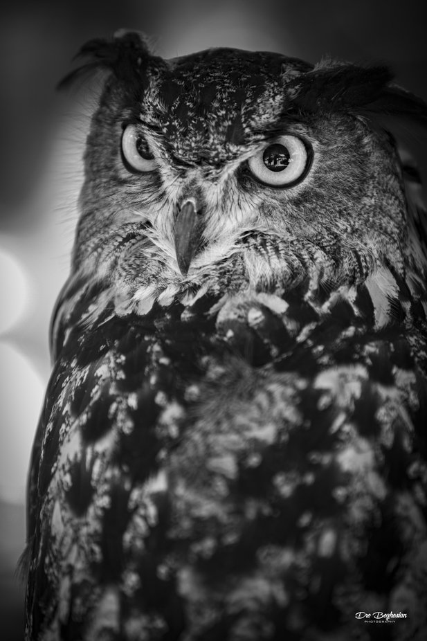 Owl in B/W