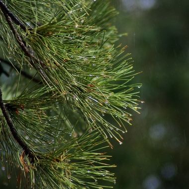 Rain drops on spruce needles, catching the Sun