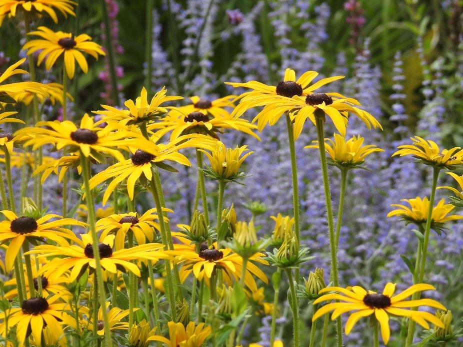 rubeckia flowers