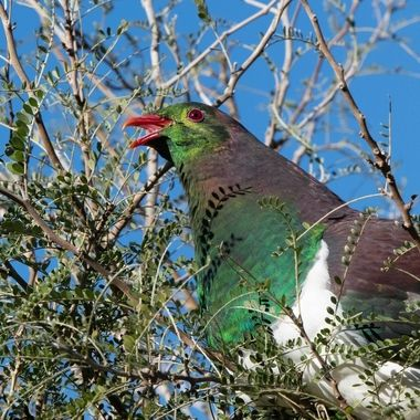 kereru swallow