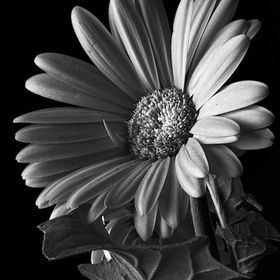 This Red Gerbera Daisy made a great candidate for a b/w image.  #b+wphotography #nature #flowers  https://pixels.com/featured/red-gerbela-daisy-3...
