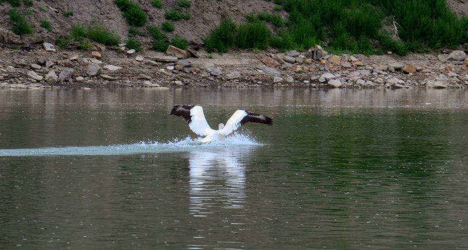 Pelican landing on river