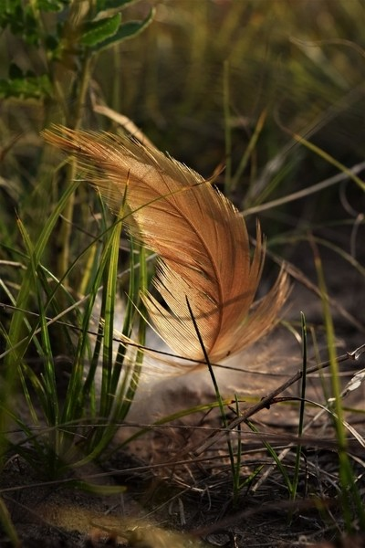Rooster Feather