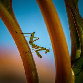 A just born praying mantis studying it's new surroundings