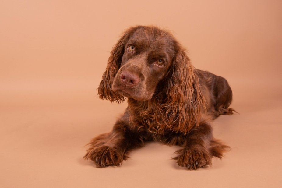 Baily, a Sussex Spaniel puppy poses for a picture