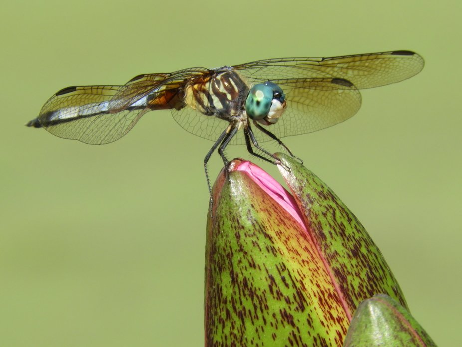 dragon fly on water lily bud