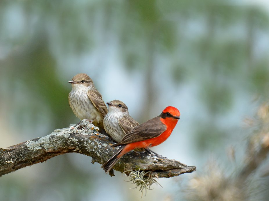 The male vermilion flycatcher is shown with two of his offspring.  He was busy teaching them how ...