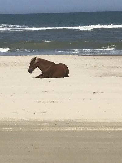 Wild mare on the beach in Corolla