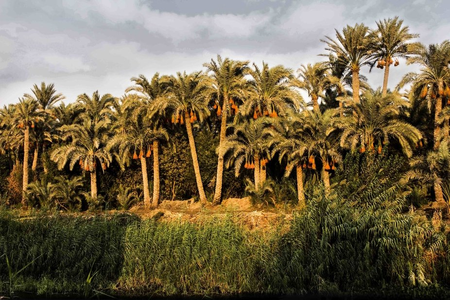 Palm trees with dates