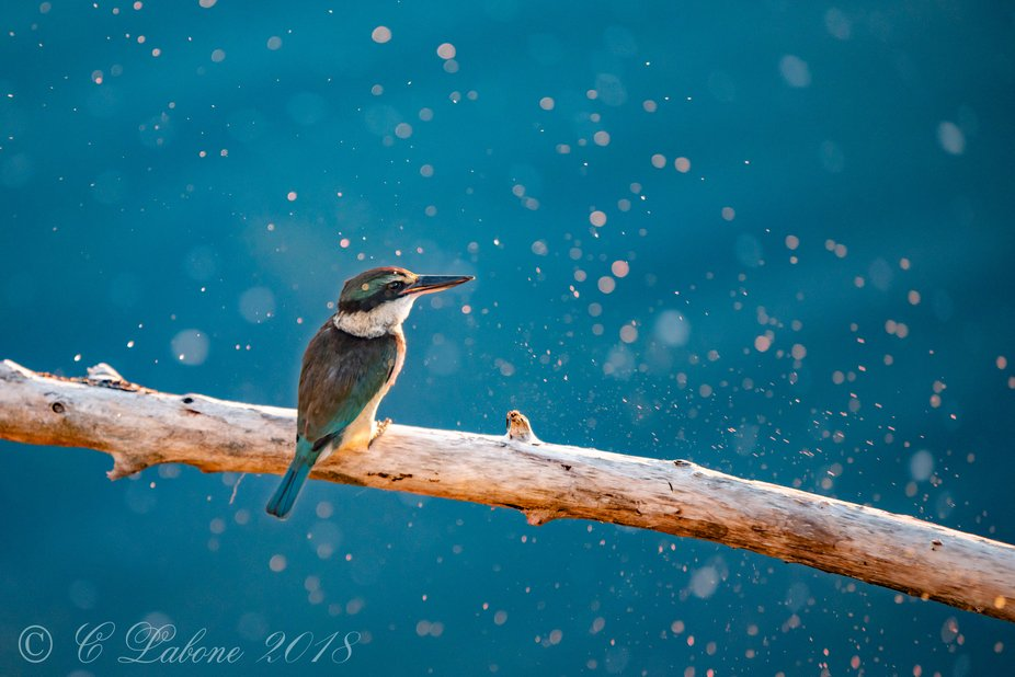 The Kingfisher dives for its prey and returns to its perch, shaking its head the spray of water g...