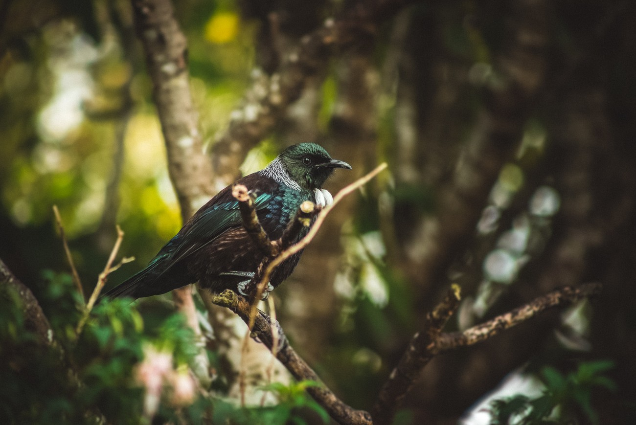 One toneful voiced common bird of New Zealand.