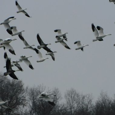 I took this photo during a massive migration of Snow Geese and Swans flying through my area last winter 2017.