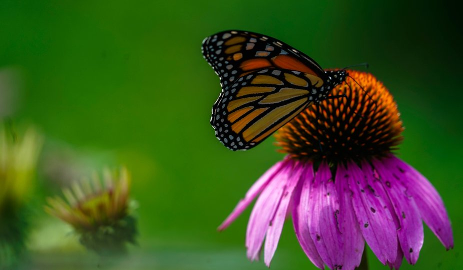 Butterfly eating nectar from cone flower.
