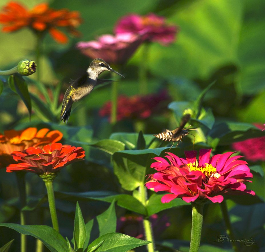 Hummingbird and Hummingbird Moth both vying for the same Zinnia's nectar..let the battle...