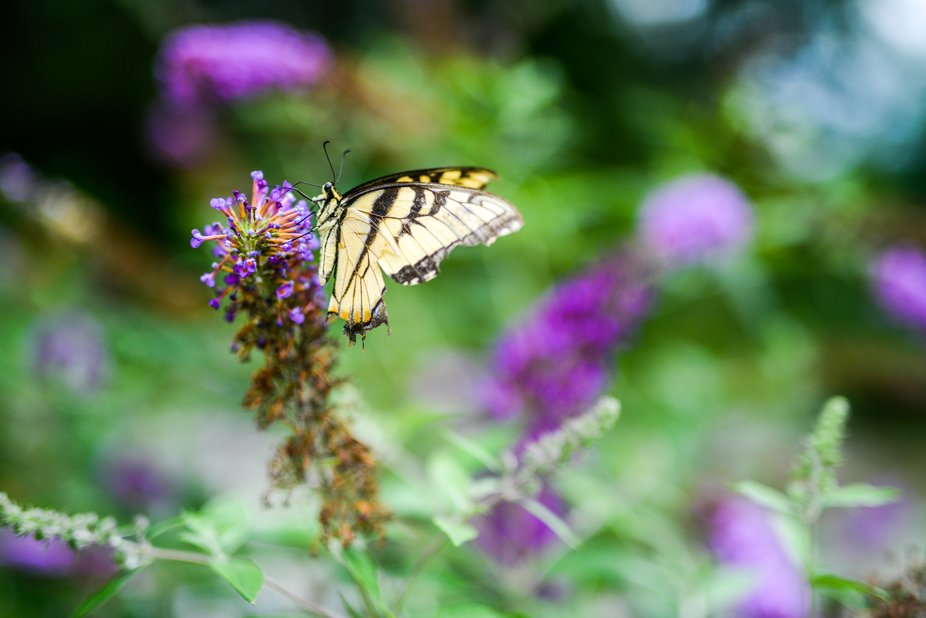 Perched Monarch