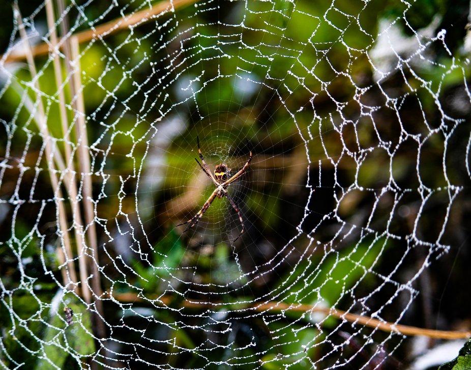 Tolan Spider in a Web-2581