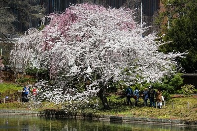 White & Pink Cherry Blossoms BKBG-2722