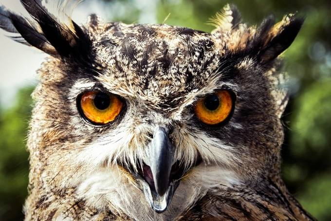 Eagle Owl Staring by Sporter - Beautiful Owls Photo Contest