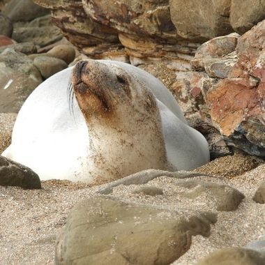 One of the rarest sea lions species in the world and only found in New Zealand.