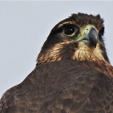 N.Z. falcon