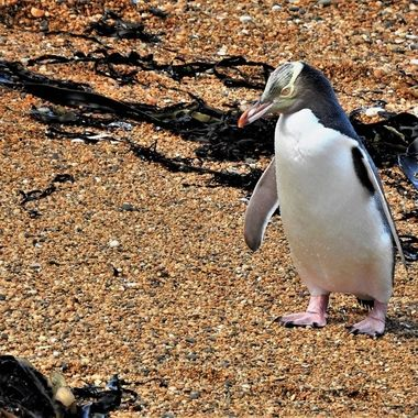 Thought to be one of the worlds rarest penguin species. Found only in New Zealand.