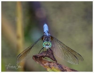 Blue Skimmer Giving the Evil Eye...