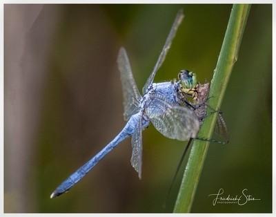 Blue Skimmer Snatches Bug Snack