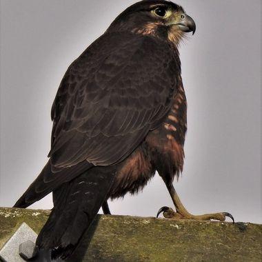 N.Z. Falcon ( Karearea )