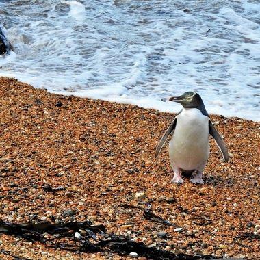 Hoiho ( yellow eyed penguin )