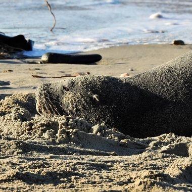 Hooker sea lion ( whakahao )
