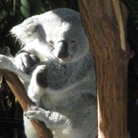 This Koala is just waking up, they sleep most of the day.