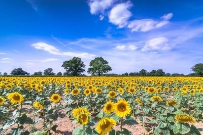 sunflower in buckinghamshire