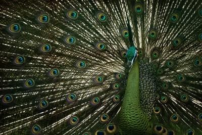 Beautiful green peacock