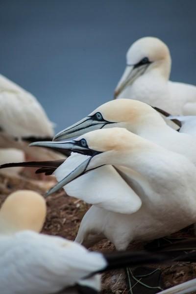 Atlantic Gannets